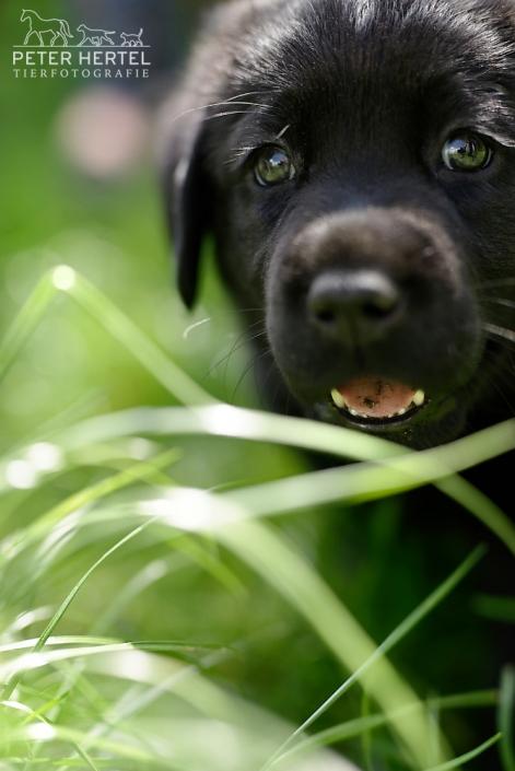 hund-outdoor-labrador-welpe-dreckzunge