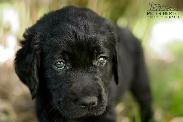 hund-outdoor-labrador-welpe