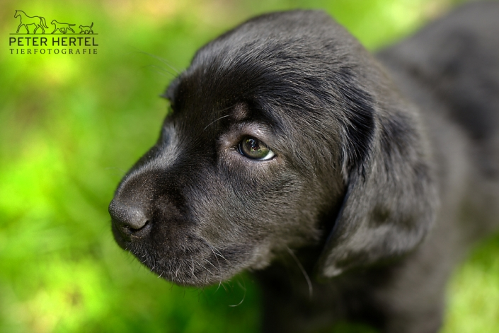 hund-outdoor-labrador-welpe-wiese