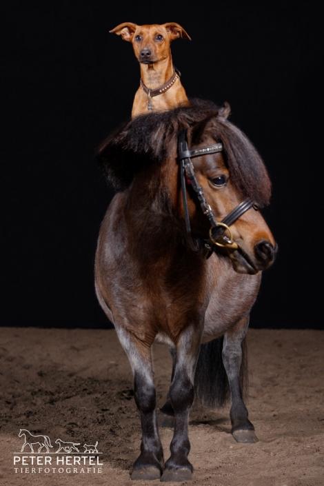 pferd-studio-shetland-pony-hund-reitet