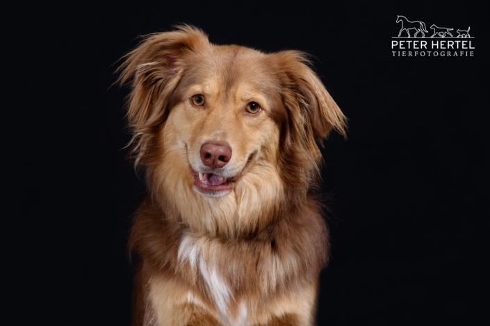 hund-studio-australien-shepherd-bob