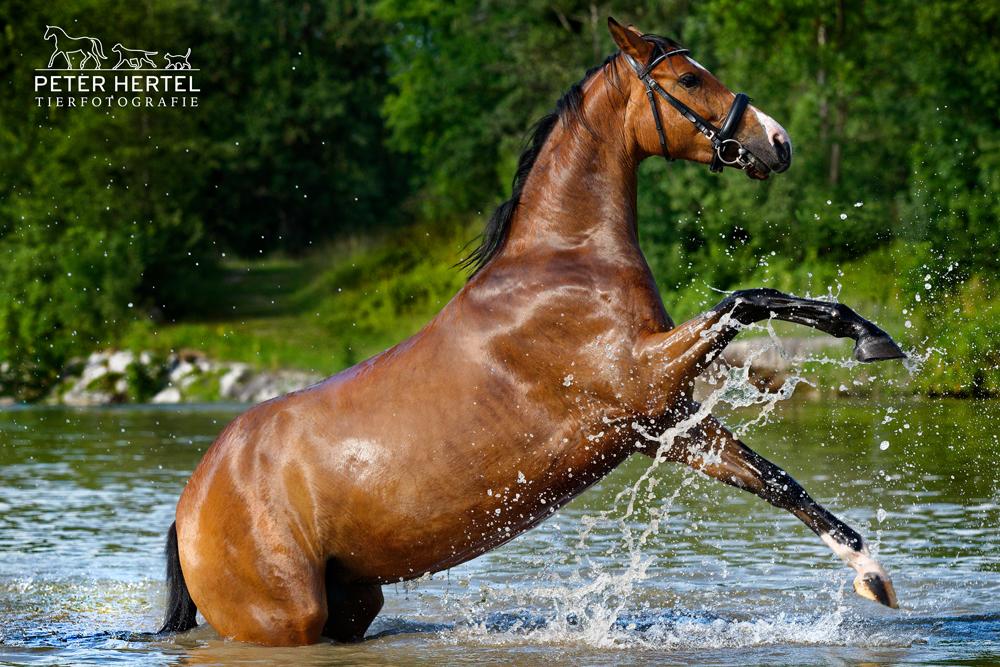 pferdefotografie-in-der-natur-bayerisches-warmblut
