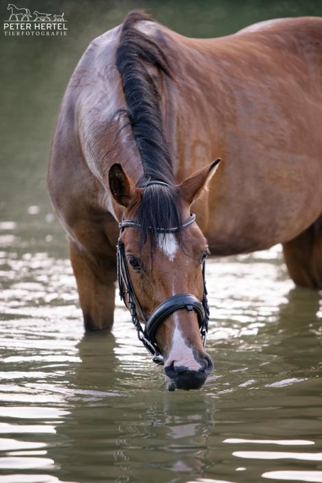 pferd-outdoor-bayerisches-warmblut-wasser-trinken