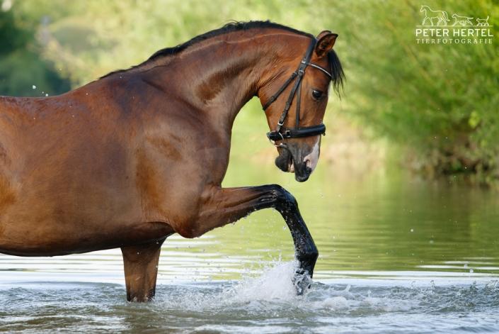 pferd-outdoor-bayerisches-warmblut-wasser-spiel