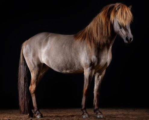 pferdefotografie-im studio-island-pony-hd