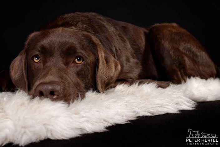 hundefotografie-im-studio-labrador