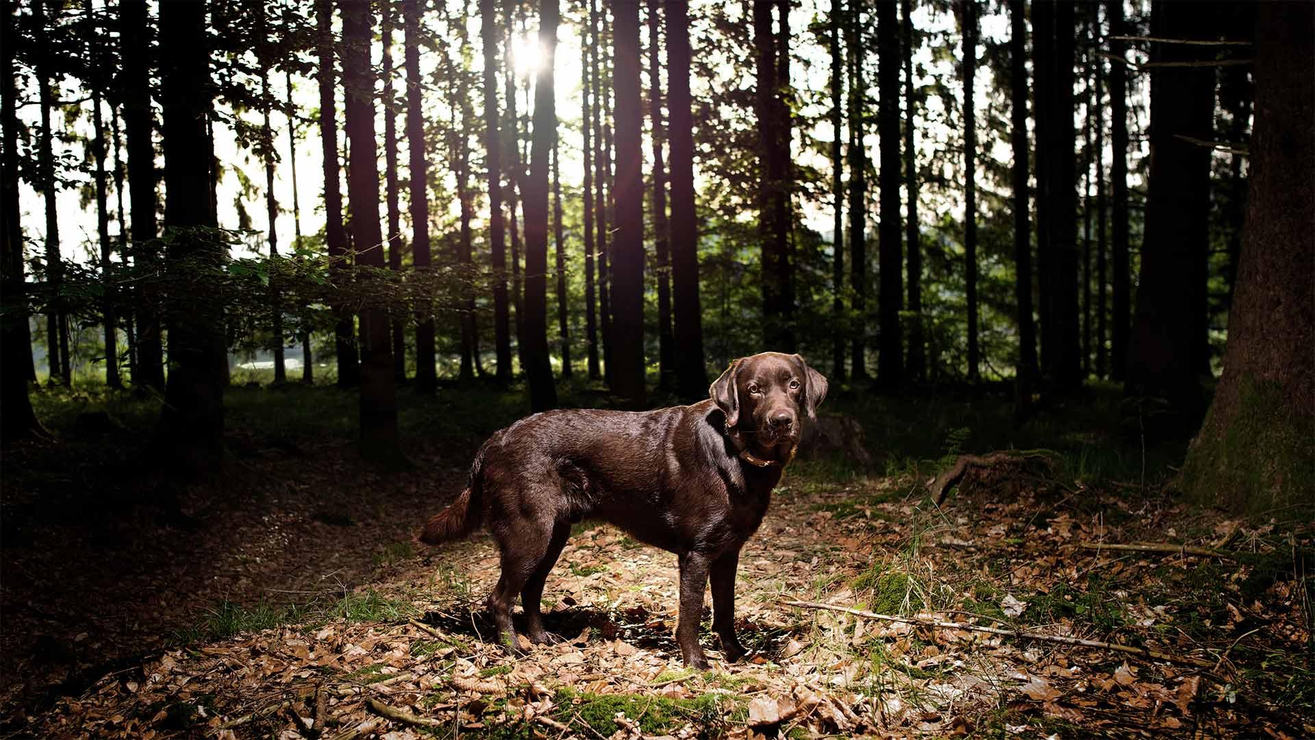 hundefotografie-in-der-natur-labrador-lichtung-hd