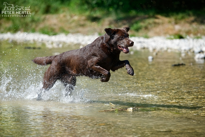 hund-outdoor-labrador-lemmy-wasser