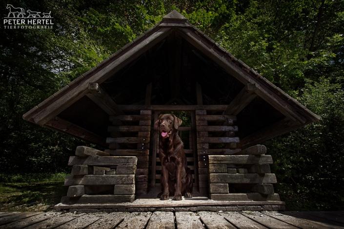 hundefotografie-in-der-natur-labrador-hundehaus