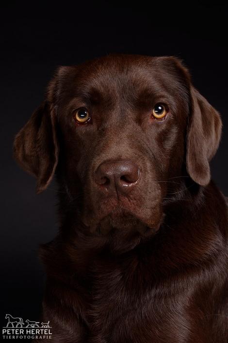 hund-studio-labrador-lemmy-portrait