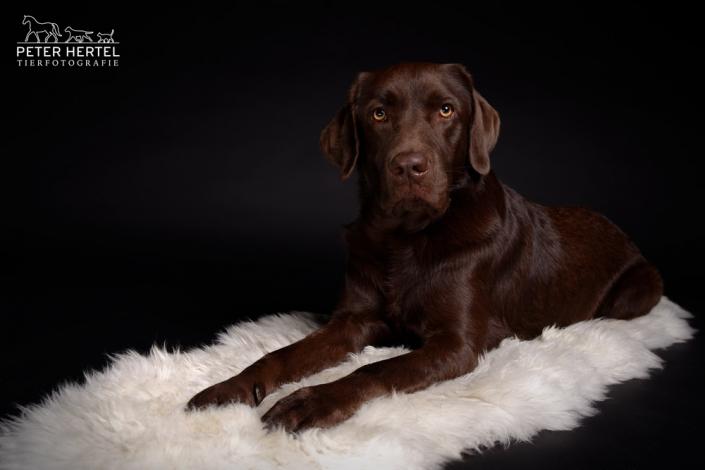 hund-studio-labrador-lemmy-teppich