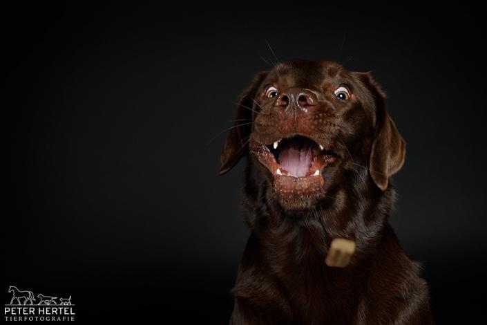 hund-studio-labrador-lemmy-wurf-unten