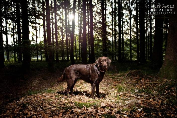 hund-outdoor-labrador-lemmy-waldlichtung