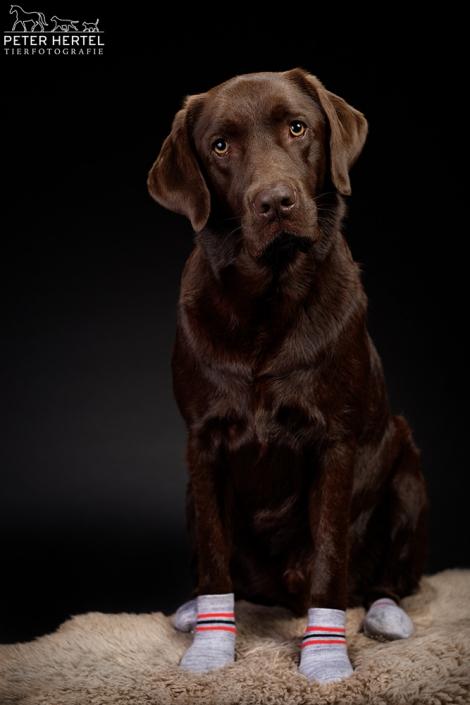 hund-studio-labrador-lemmy-socken