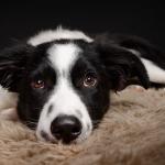 hund-studio-border-collie-welpe-finde