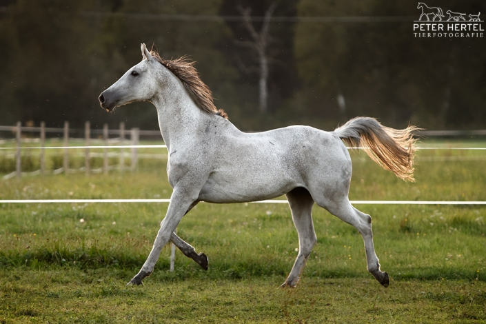 pferd-englisches-vollblut-schimmel-koppel