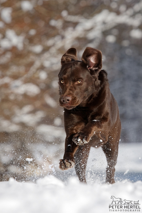 hund-outdoor-labrador-lemmy-schneelauf