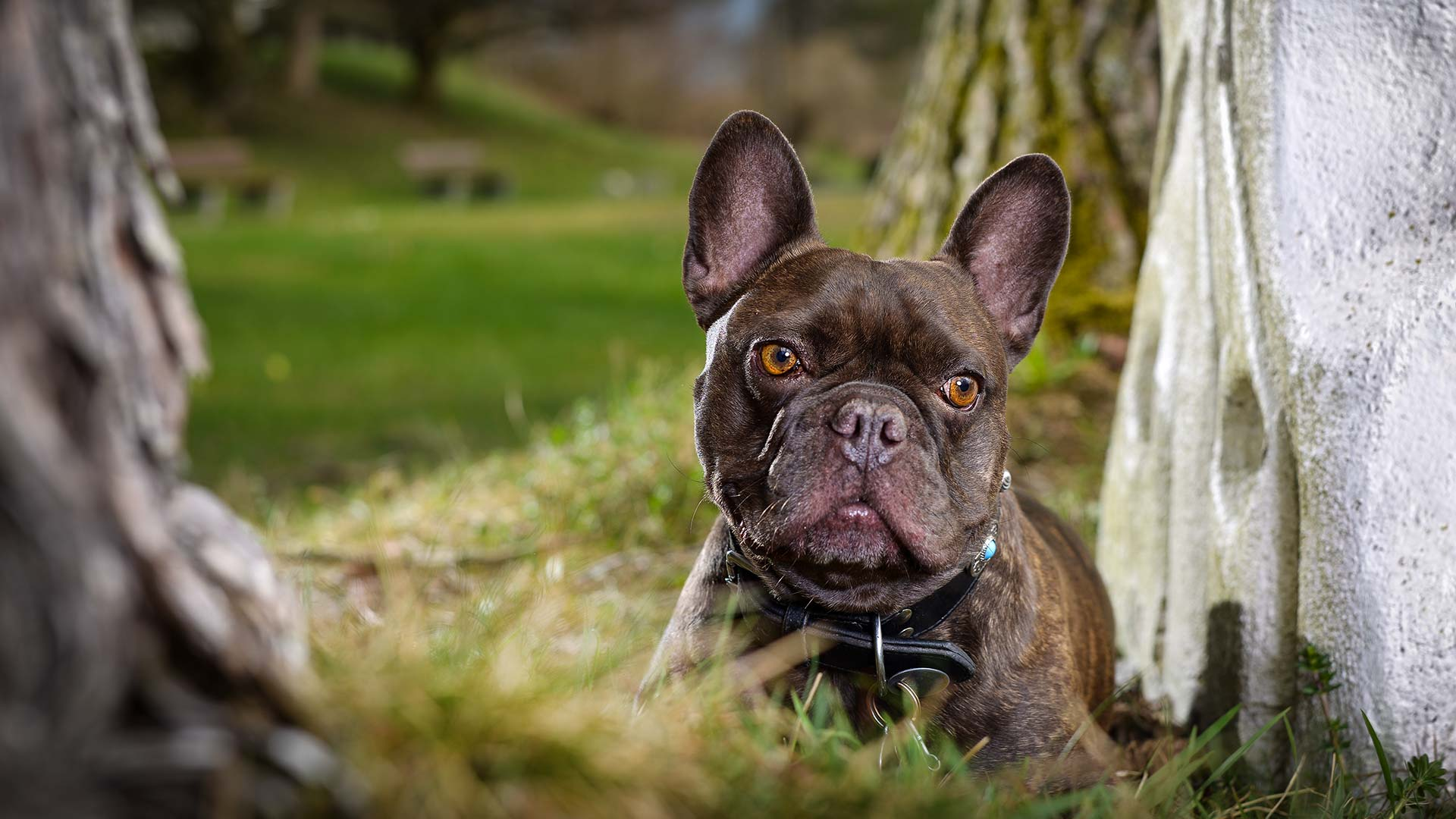 hund-outdoor-frenchbulldog-blue-spezial