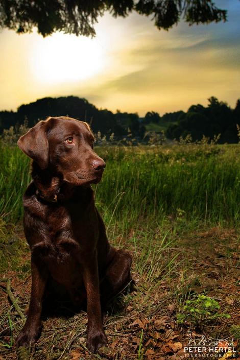 hund_outdoor_labrador_lemmy_sonnenaufgang