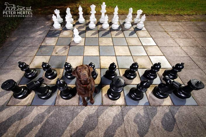 hund-outdoor-labrador-lemmy-schach
