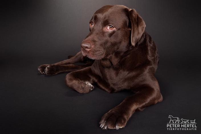hund-studio-labrador-leni