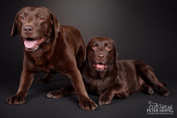 hund-studio-labrador-leni-rocco