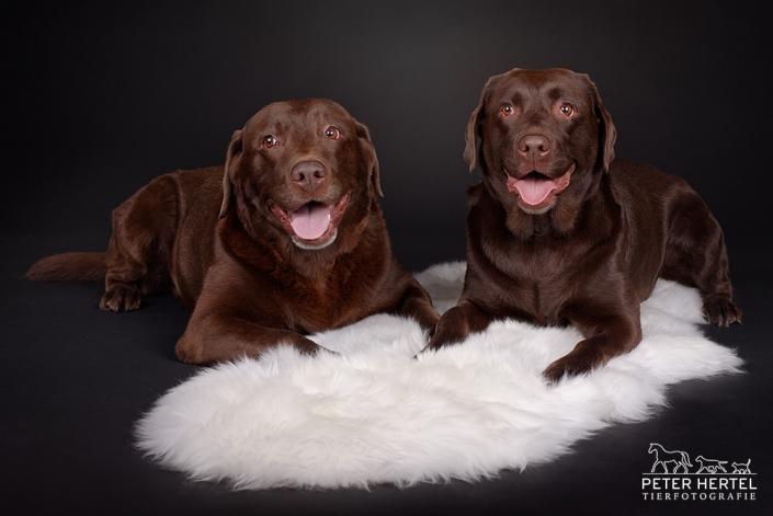 hund-studio-labrador-leni-rocco1