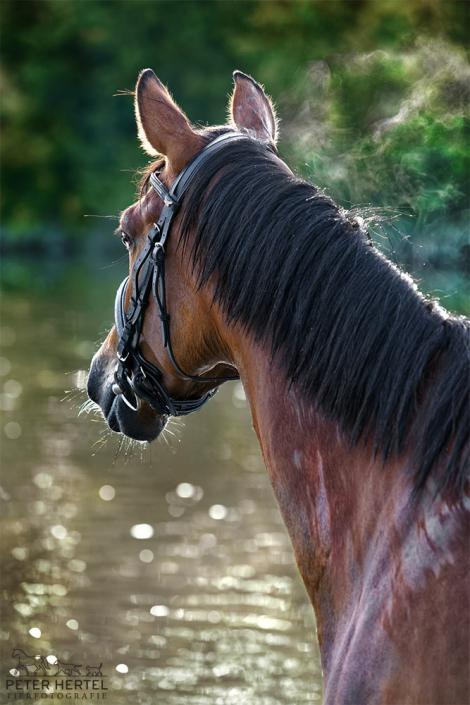 pferd-outdoor-bayerisches-warmblut-wasser-dampf