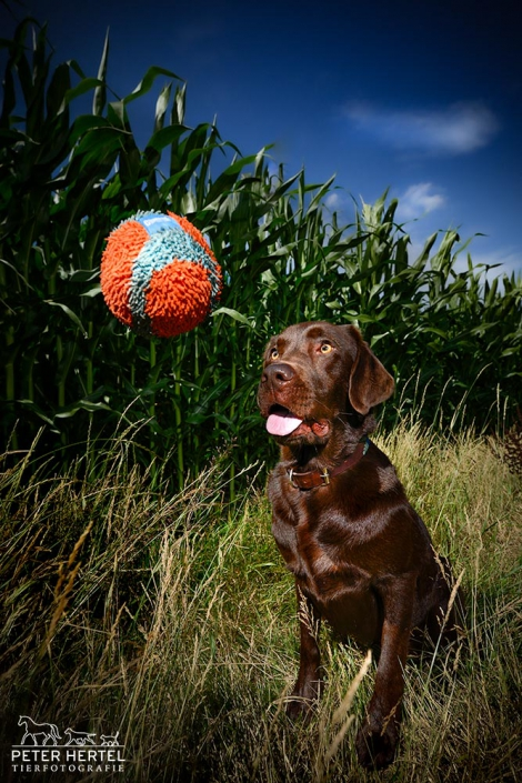 hund-outdoor-labrador-lemmy-ball