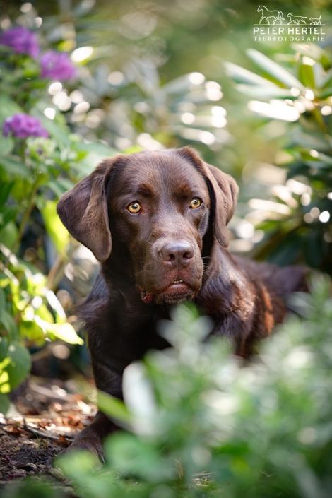 hund-outdoor-labrador-lemmy-garten