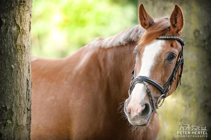 pferd-outdoor-hannoveraner-feline