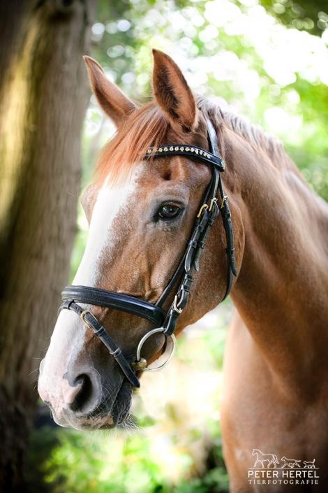 pferd-outdoor-hannoveraner-feline1