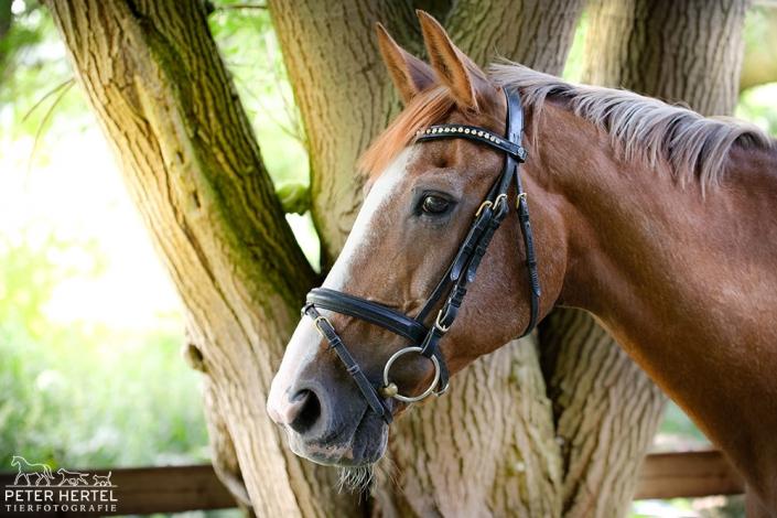 pferd-outdoor-hannoveraner-feline2