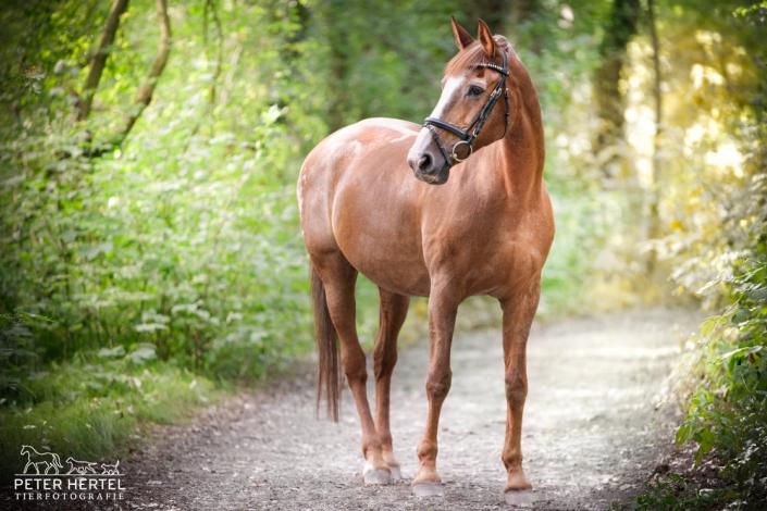 pferd-outdoor-hannoveraner-feline3