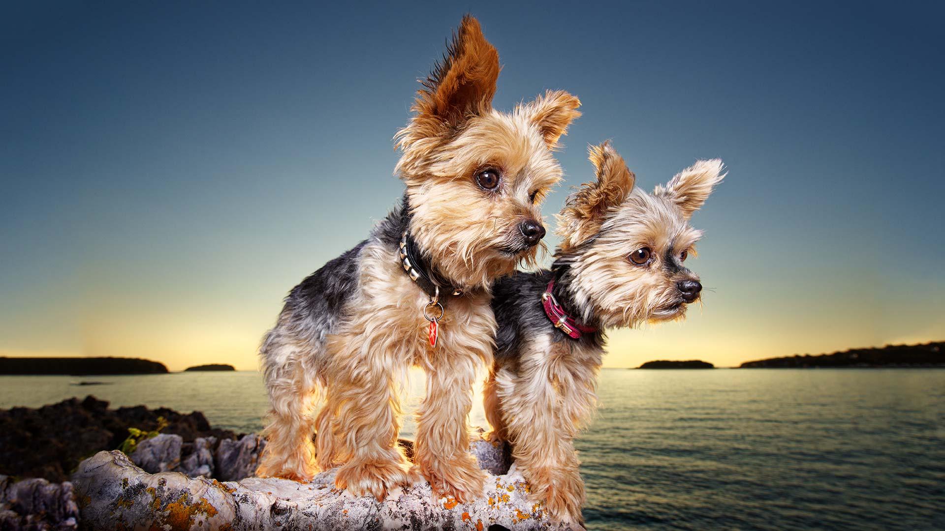 Hund-outdoor-yorkshires-meer