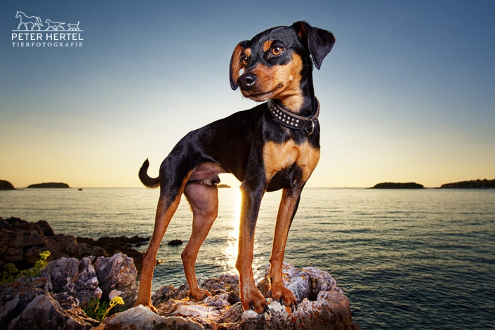 hund-outdoor-zwergpinscher-rocky-meer