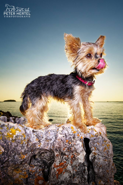 hund-outdoor-yorkshire-istrien-meer