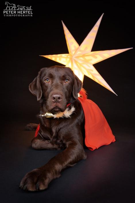 hund-studio-labrador-weihnachten-lemmy