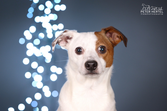 hund-studio-jackrusselmix-billy