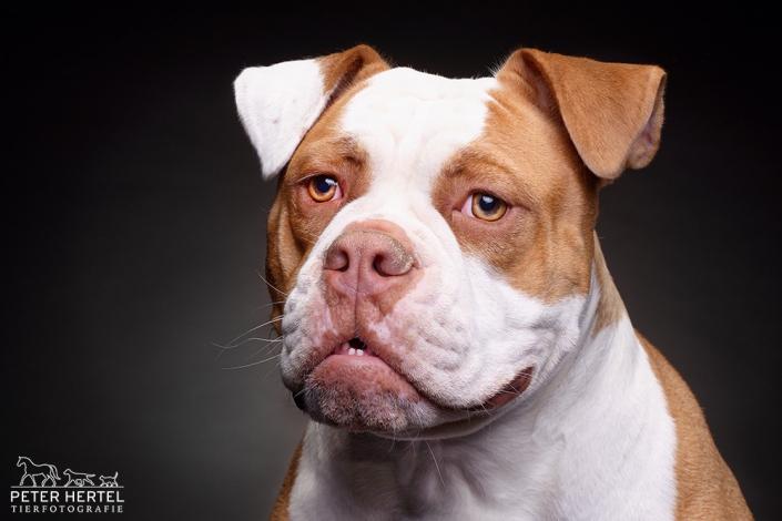 hund-studio-oldenglishbulldog-zara