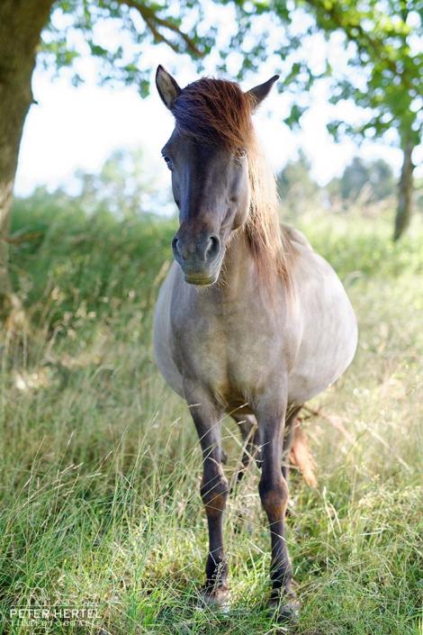 pferd-outdoor-islaender