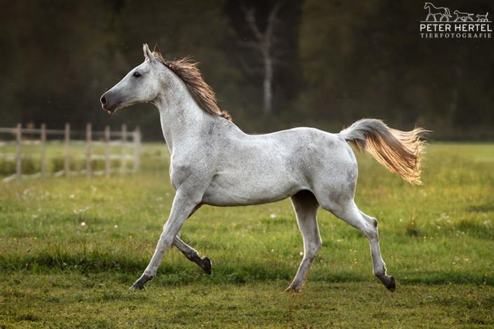 pferd-outdoor-englisches-vollblut-schimmel-koppel