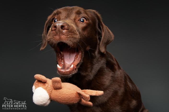 Labrador-Spielzeug-Wurf-Studio-1