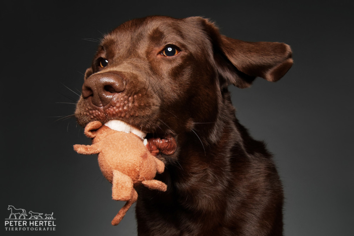 Labrador-Spielzeug-Wurf-Studio-2
