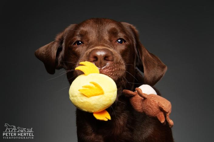 Labrador-Spielzeug-Wurf-Studio-3