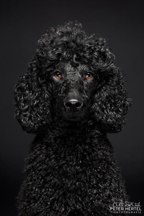 Pudel-Portrait-frontal