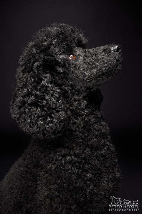 Pudel-Portrait-Seite